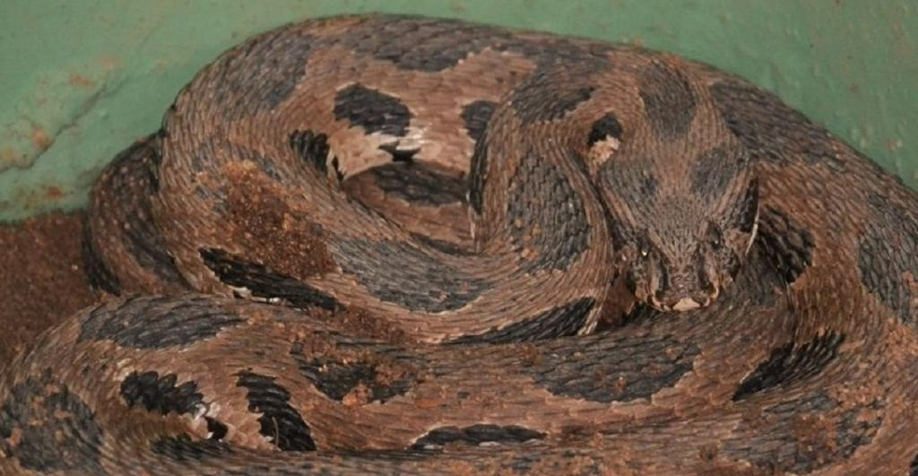 A new pilot project in rural Karnataka uses radio telemetry to track the movements of Russell's Vipers. Photo: Wikimedia Commons