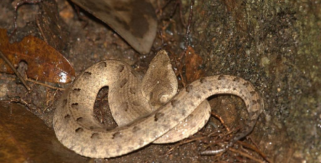 Habitat loss is the gravest threat facing snakes today, according to herpetologist Romulus Whitaker, ahead of World Snakes Day. Photo: Wikimedia Commons
