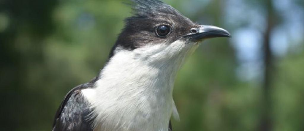 A new project by the Wildlife Institute of India and the Indian Institute of Remote Sensing has used nano technology to track the enigmatic Pied Cuckoo. Photo: Mohammad Shakur