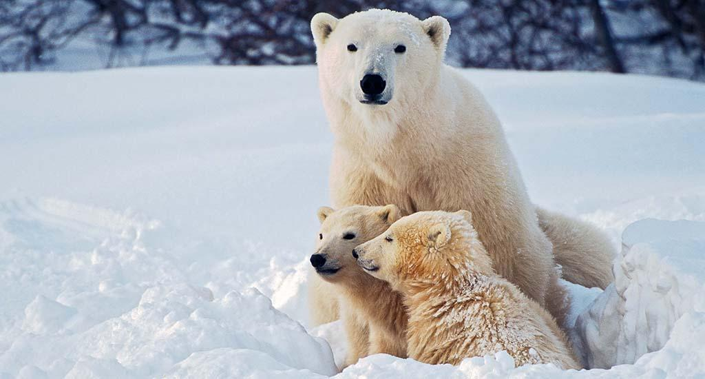 The study established the threshold number of days polar bears can fast before cub recruitment and / or adult survival are impacted.