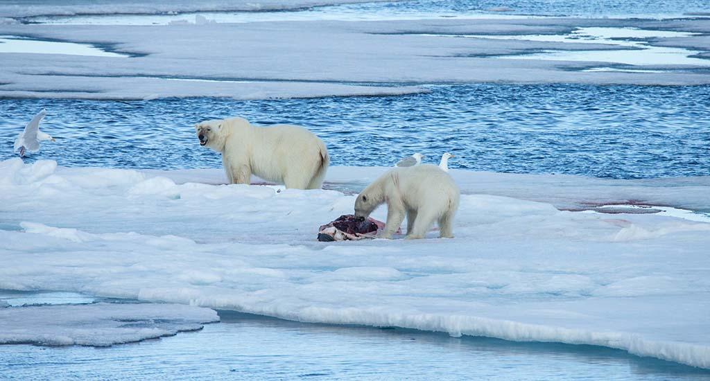 The creatures depend on sea-ice for capturing seals, a source of sustenance for them in the freezing temperatures of the Arctic Circle.