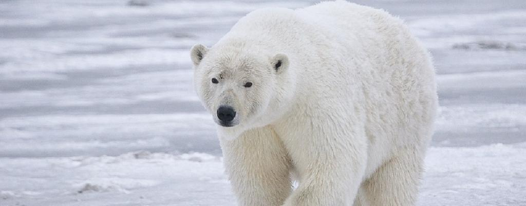 Polar bears could become extinct by 2100, says study. Photo: Wikimedia Commons