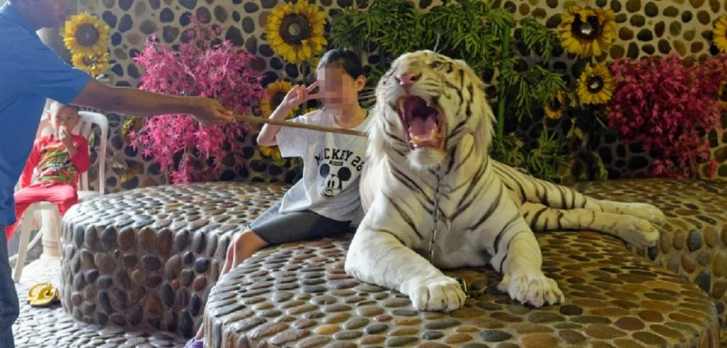 Privately owning a big cat is scientifically and morally wrong and poses challenges to human health, safety and security. Photo: World Animal Protection