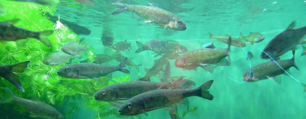 Atlantic Salmon are returning to a Maine river after dam removals. Photo: Flickr