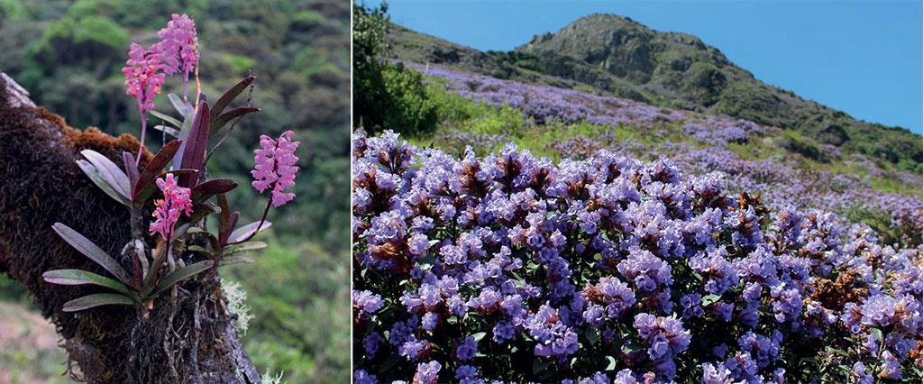 (Left) An Aerides ringens orchid growing on a shola tree; (Right) Neela-Kurinji or Strobilanthes kunthiana flowering in the grassland habitats of the Nilgiris. This spectacle takes place only once in 12 years. Photo: Godwin Vasanth Bosco