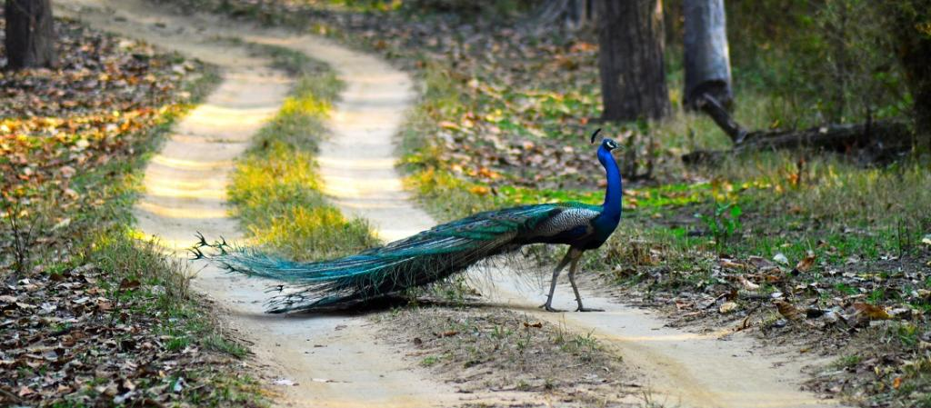 Should we celebrate the spread of peafowl in India. Photo: Wikimedia Commons