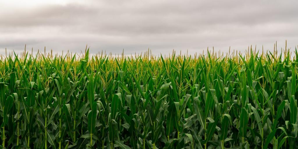 A novel algorithm for enhanced crop productivity. Photo: Wikimedia Commons