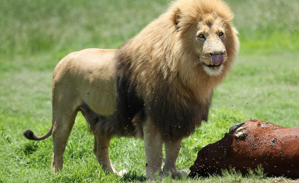 Lions are less likely to attack cattle with eyes painted on their backsides. Photo: Wikimedia Commons