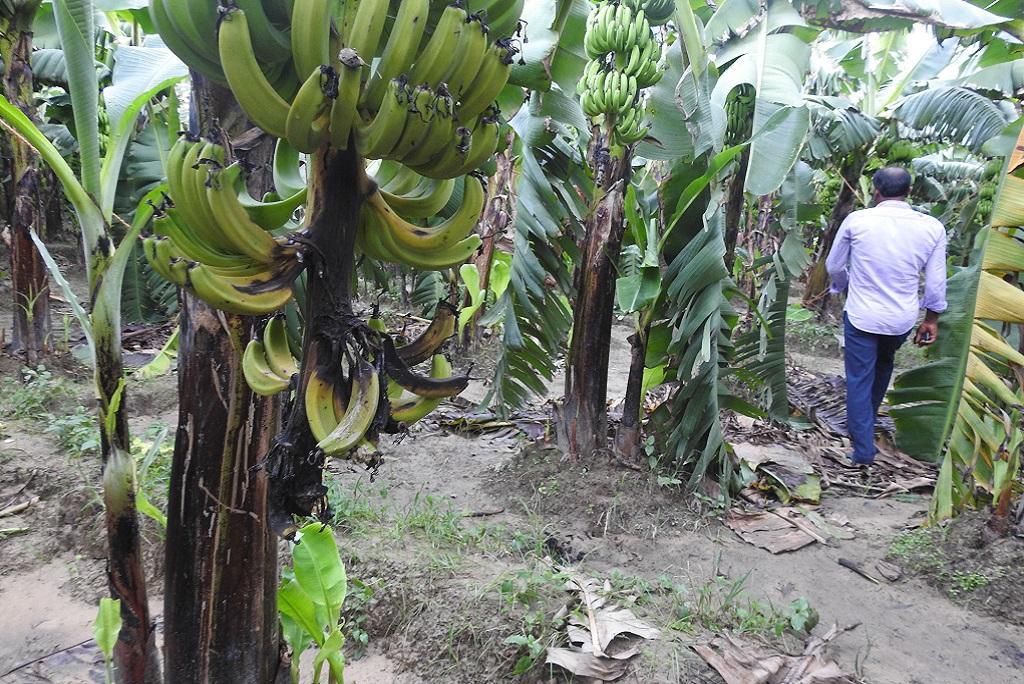 Banana cancer
