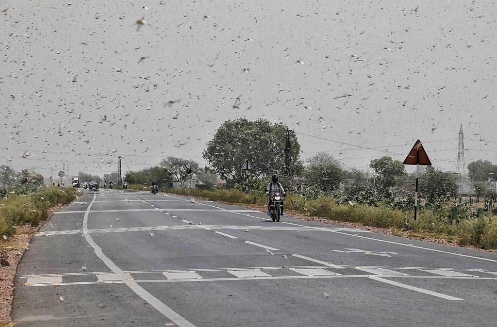 Over 200,000 ha crops lost to locust attacks since 2019. Photo: Vikas Choudhary