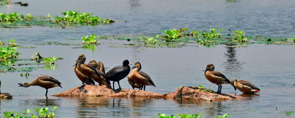 The East Kolkata Wetlands received has a Ramsar tag, a formal acknowledgement of its status as wetlands of international importance. Photo: www.ekwma.in