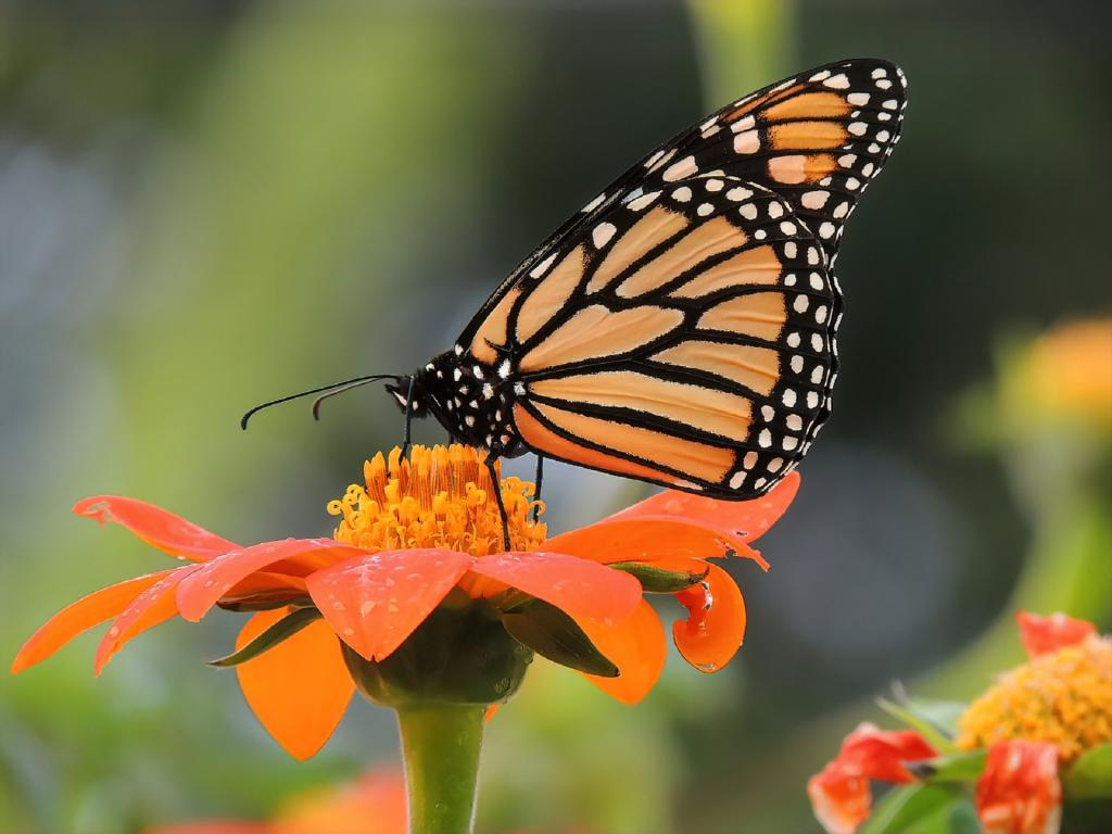 Declining numbers of the monarch butterfly led to the search for an explanation for the loss and the formation of the 'milkweed limitation' hypothesis. Photo: Pxhere