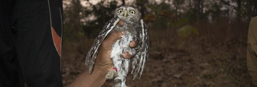 The non-profit used methods to band the forest owlet that are stressful and harmful to the species. Photo: WRCS