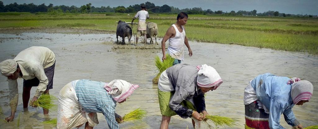 Why farmers are not cheering their exceptional feat this kharif season. Photo: Wikimedia Commons