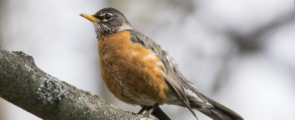 The numbers of short-distance migrant species, including robins, declined 10-30 per cent over several weeks during extreme heat waves. Photo: Pxhere