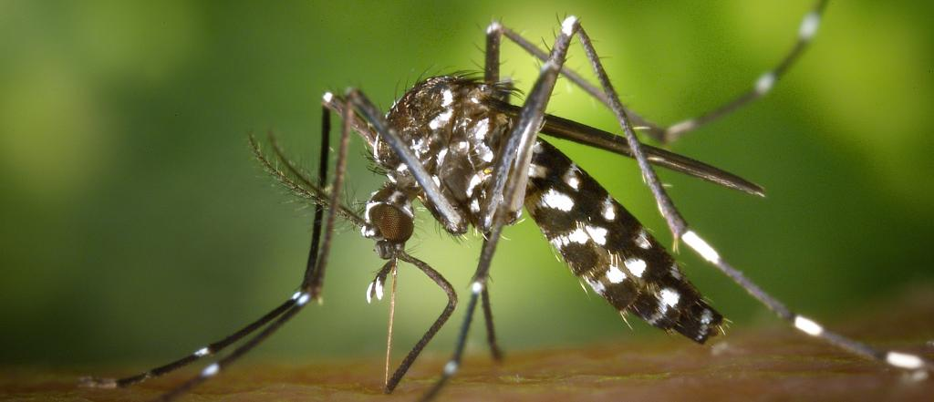 The outbreak in Reunion island was caused by mosquito species Aedes albopictus, native to south east Asia, but also found across the tropics. Photo: James Gathany / Earth Institute / European Centers for Disease Control and Prevention