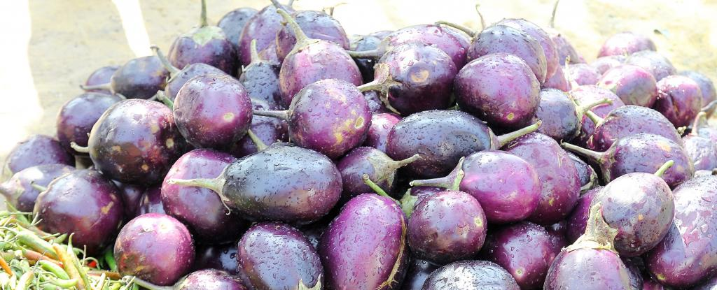 This approval now allows several states to conduct trials for the Event 142 variety of Bt brinjal. Photo: Pxfuel