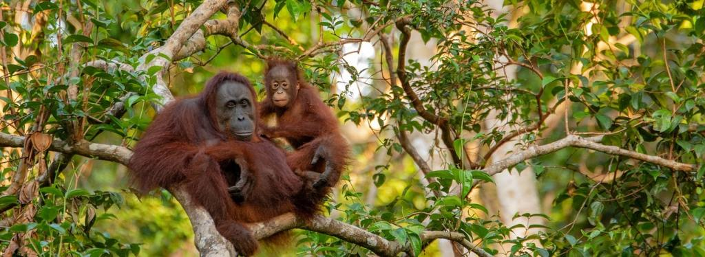 Global Eco Watch: Key Indonesia law incapable of protecting 80% of rainforest vulnerable to palm oil plantation. Photo: needpix.com