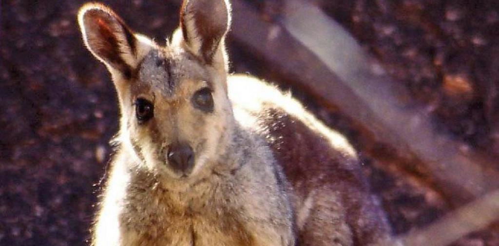 Australia, Caribbean already in second mammal extinction wave: Study. Photo: Wikimedia Commons