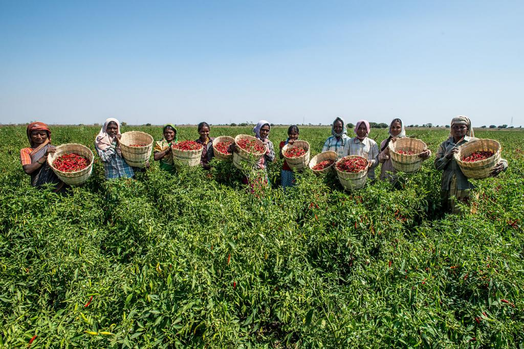 Area under organic cultivation is 2% of the net sown area in the country. Photo: Wikimedia Commons
