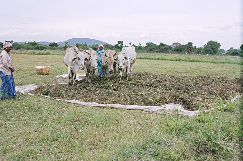 Natural farming movement led by farmers and civil society has spread to states such as Karnataka, Tamil Nadu, Maharashtra, among others in the last few decades. Photo: Sopan Joshi