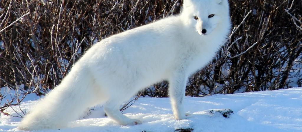 Hunters hunted Arctic foxes in wintry northern Europe during Last Ice Age, fossils show. Photo: Wikimedia Commons