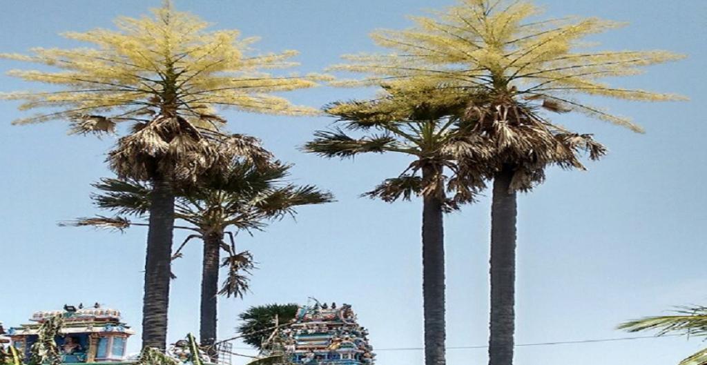 Why India must conserve its palm trees. Photo: V Sundararaju