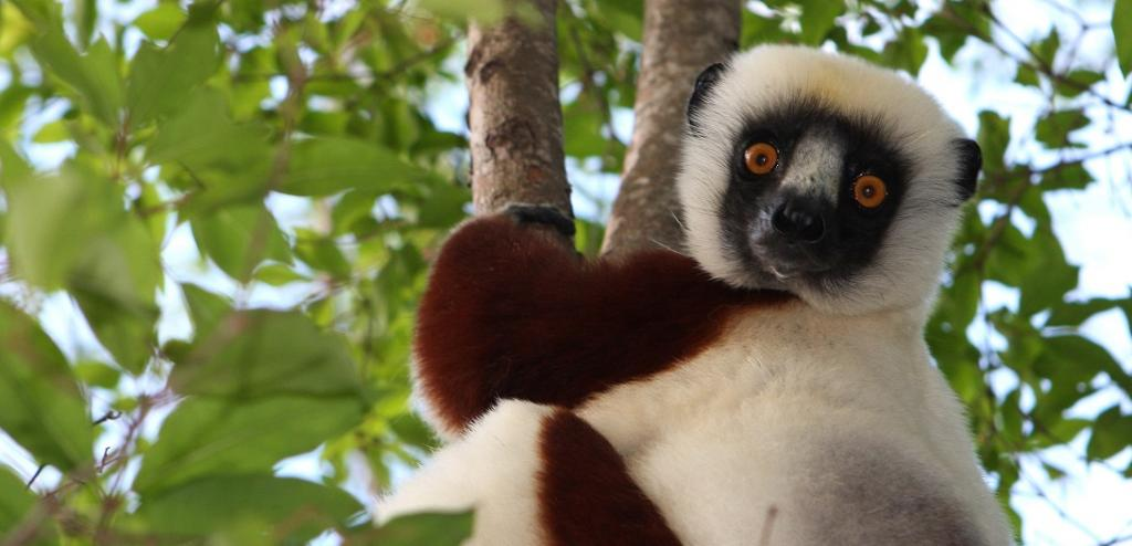 Primates are facing an impending extinction crisis - but we know very little about what will actually protect them. Photo: Wikimedia Commons