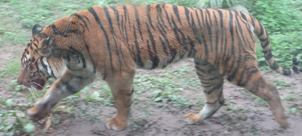 A South China Tiger. Photo: Wikimedia Commons