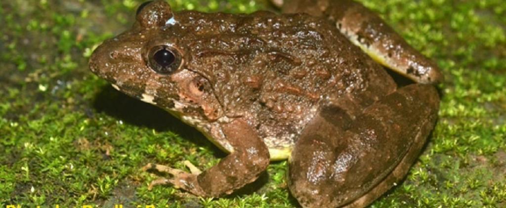 The Kalinga frog of the Eastern Ghats. Photo: Prudhvi Raj