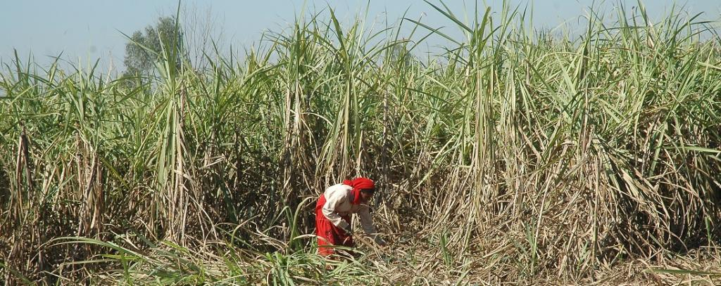 Unpaid dues to can farmers stand at over Rs 15,000 crore: Govt. Photo: Samrat Mukherjee / CSE