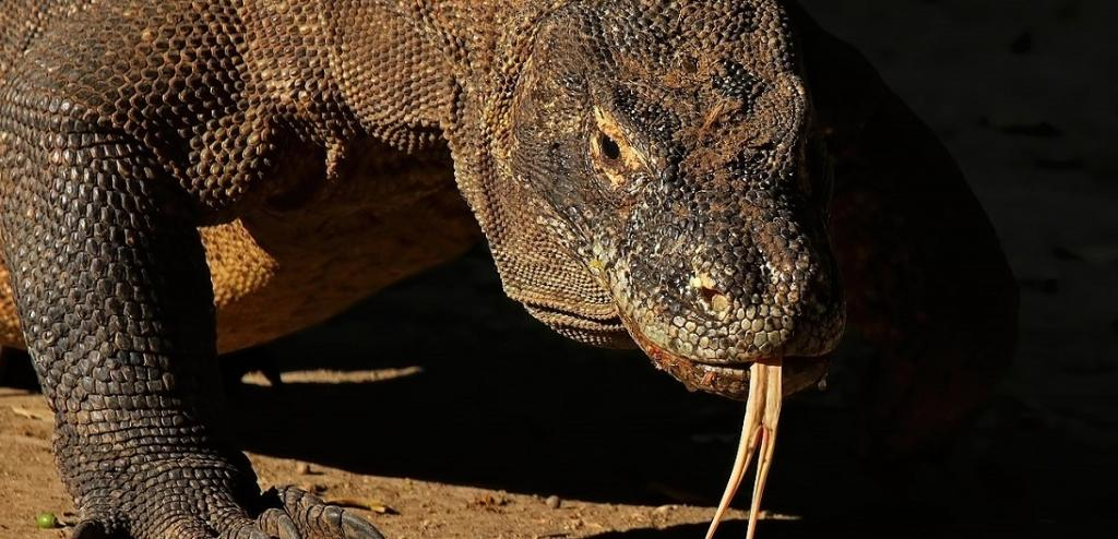 Global Eco Watch: Komodo dragons could become extinct soon due to climate change