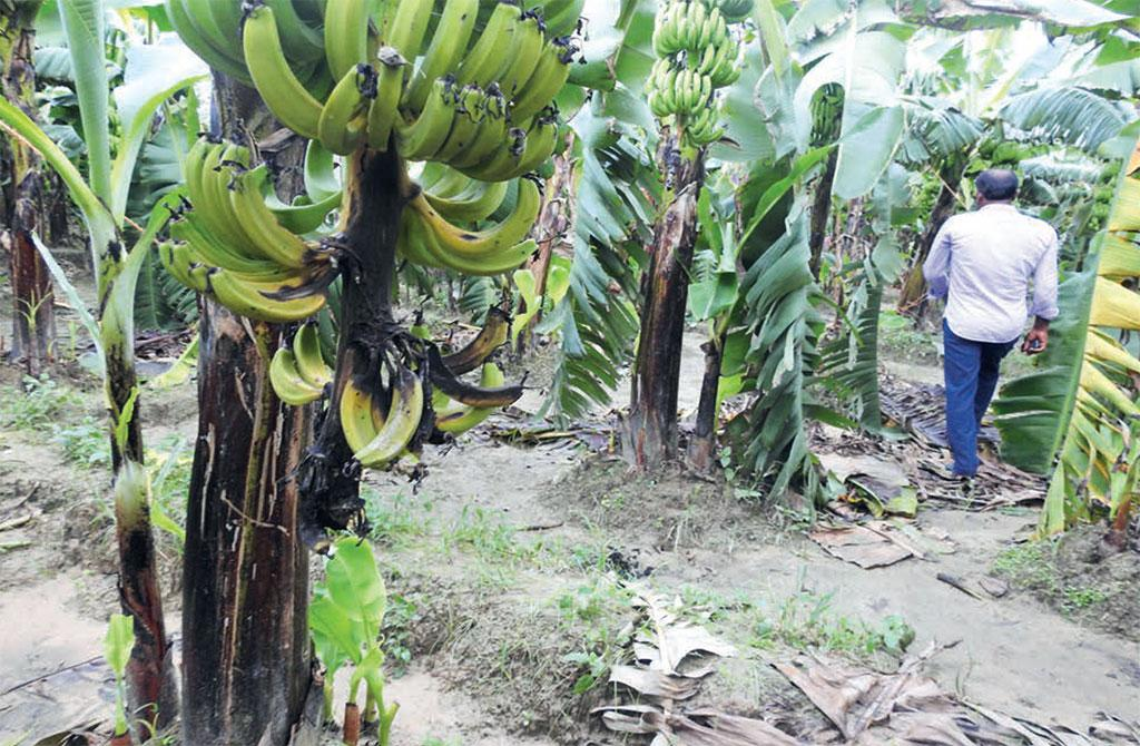 More than 11,000 hectares of banana plantations in Bihar and Uttar Pradesh are infected by the TR4 strain of Fusarium fungus (Photograph: Vivek Mishra)