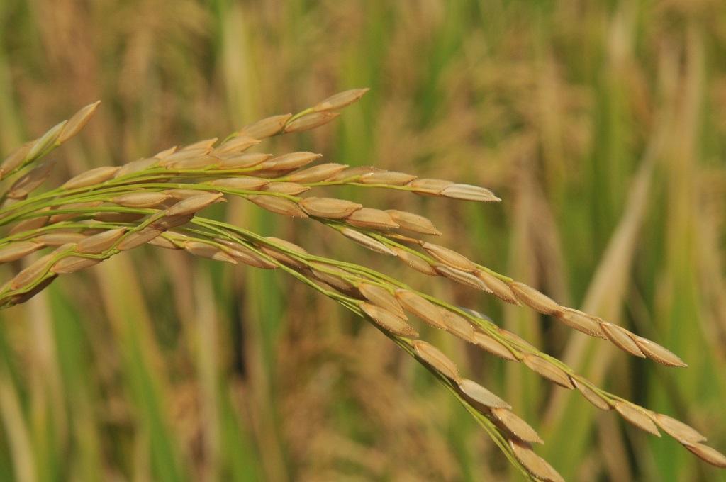 खरीफ सीजन 2020-21 के पहले अनुमान में 102.36 मिलियन टन चावल के उत्पादन की बात कही गई है। फोटो: मीता अहलावत