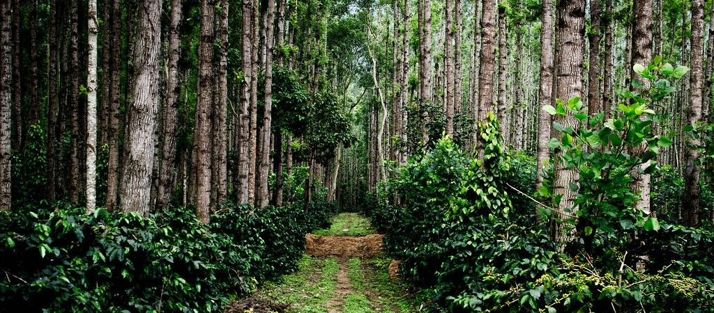 Agroforestry plantations in the Western Ghats, especially coffee plantations, have contributed to conservation of biodiversity. Wikimedia Commons