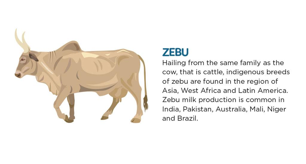 Hailing from the same family as the cow, that is cattle, indigenous breeds of zebu are found in the region of Asia, West Africa and Latin America. Zebu milk production is common in India, Pakistan, Australia, Mali, Niger and Brazil.