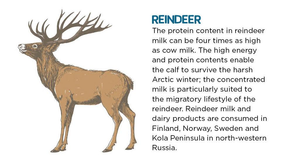 The protein content in reindeer milk can be four times as high as cow milk. The high energy and protein contents enable the calf to survive the harsh Arctic winter; the concentrated milk is particularly suited to the migratory lifestyle of the reindeer. Reindeer milk and dairy products are consumed in Finland, Norway, Sweden and Kola Peninsula in north-western Russia.