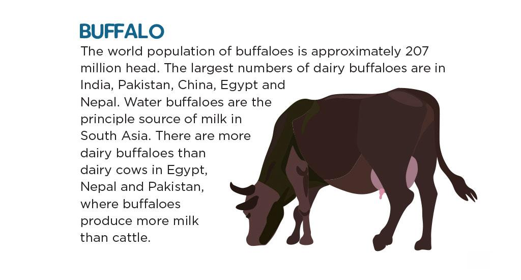 The world population of buffaloes is approximately 207 million heads. The largest numbers of dairy buffaloes are in India, Pakistan, China, Egypt and Nepal. Water buffaloes are the principle source of milk in South Asia. There are more dairy buffaloes than dairy cows in Egypt, Nepal and Pakistan, where buffaloes produce more milk than cattle.
