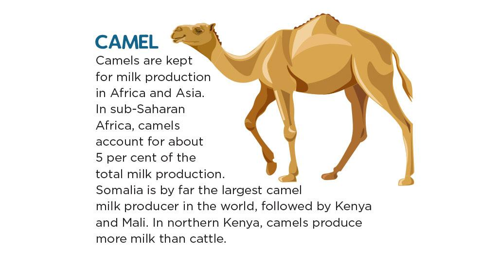 Camels are kept for milk production in Africa and Asia. In sub-Saharan Africa, camels account for about 5 per cent of the total milk production. Somalia is by far the largest camel milk producer in the world, followed by Kenya and Mali. In northern Kenya, camels produce more milk than cattle.