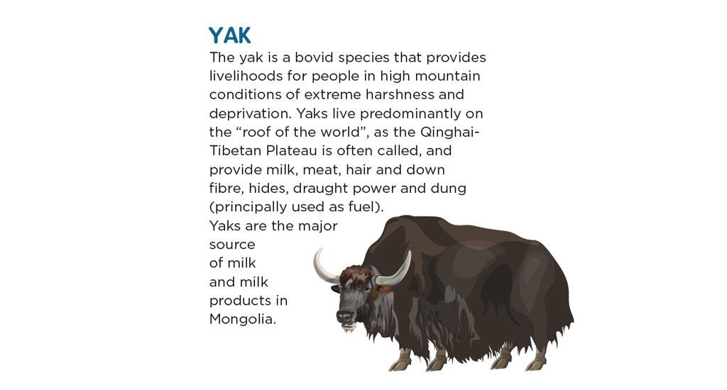 """The yak is a bovid species that provides livelihoods for people in high mountain conditions of extreme harshness and deprivation. Yaks live predominantly on the """"roof of the world"""", as the Qinghai-Tibetan Plateau is often called, and provide milk, meat, hair and down fibre, hides, draught power and dung (principally used as fuel). Yaks are the major source of milk and milk products in Mongolia."""