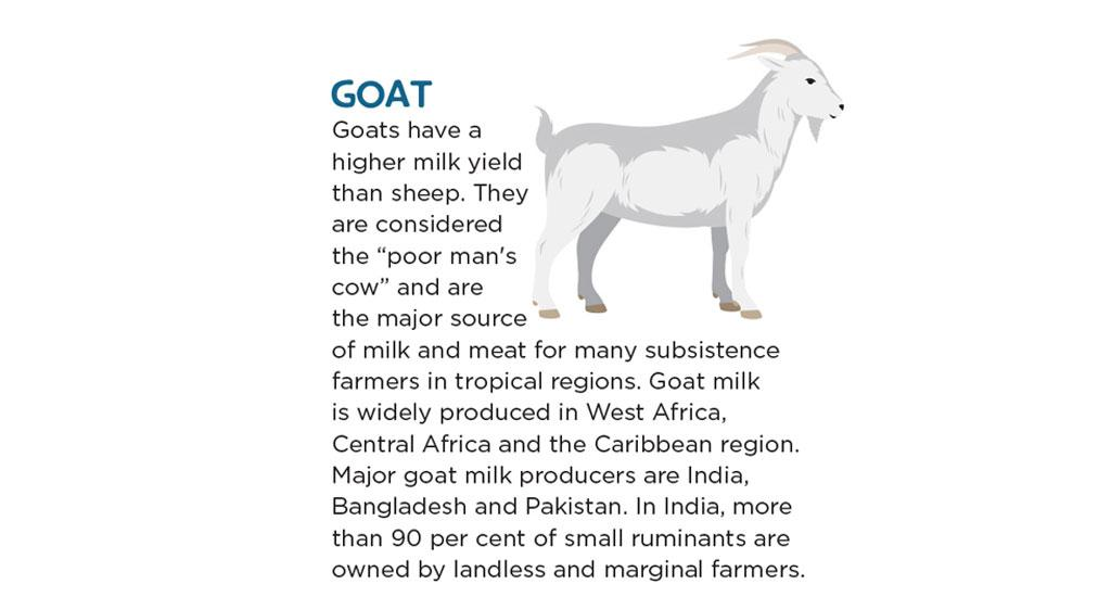 """Goats have a higher milk yield than sheep. They are considered the """"poor man's cow"""" and are the major source of milk and meat for many subsistence farmers in tropical regions. Goat milk is widely produced in West Africa, Central Africa and the Caribbean region. Major goat milk producers are India, Bangladesh and Pakistan. In India, more than 90 per cent of small ruminants are owned by landless and marginal farmers."""