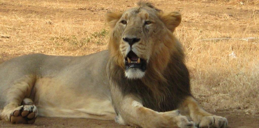Wildlife Week: Trade in bones, taxonomic reclassification major threats for Asiatic lions. Photo: Wikimedia Commons