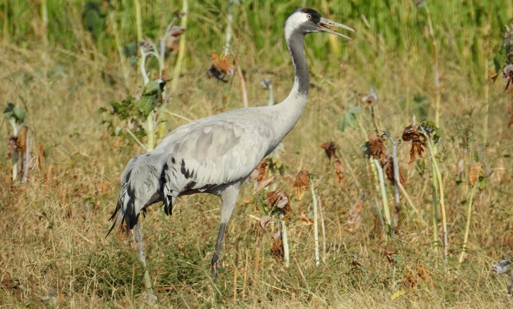 A female Common Crane weighing 4.72 kilogramme was tagged with a solar-powered GPS GSM transmitter weighing 40 grams on  March 12 this year in Gujarat's Nal Sarovar Bird Sanctuary. The tagging was part of a larger project on assessing the impact of power lines on large avian species in the arid plains of western Gujarat. Photo: Hareendra Baraiya