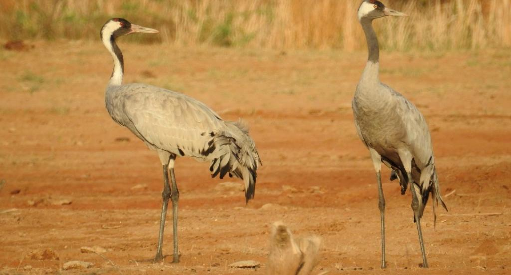 The solar-powered GPS-GSM tag that has been used is a smart technology that provides detailed information on crane migration, says R Suresh Kumar, scientist and investigator of the project from Wildlife Institute of India, Dehradun. The tag has the capacity to store 300,000 locations. Photo: Hareendra Baraiya
