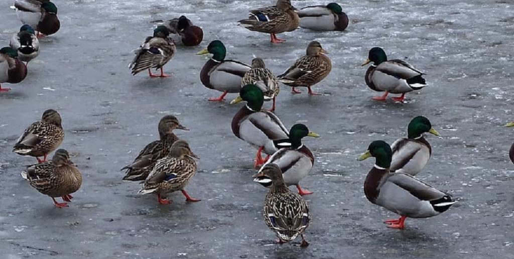 Protected areas can help water birds adapt to climate change: Study. Photo: Mallard ducks in winter. Credit: Pikist