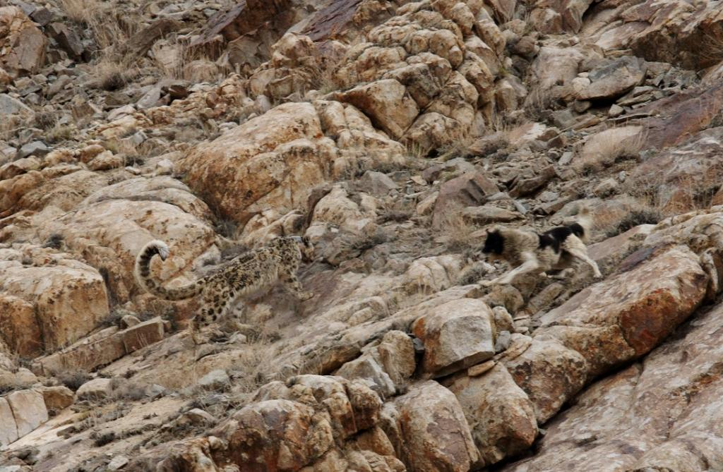 International Snow Leopard Day: Of snow leopards and domestic dogs. Photo: Narendra Patil