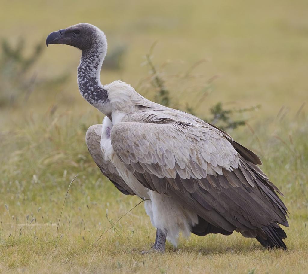 New vulture conservation centres to come in Uttar Pradesh, Tripura, Maharashtra, Karnataka and Tamil Nadu. Photo: Wikimedia Commons