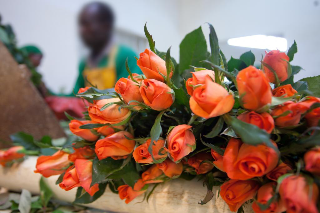 Kenyan flower exports to Europe fell 50%, affecting about 1 million people. Photo: The Conversation / Getty Images