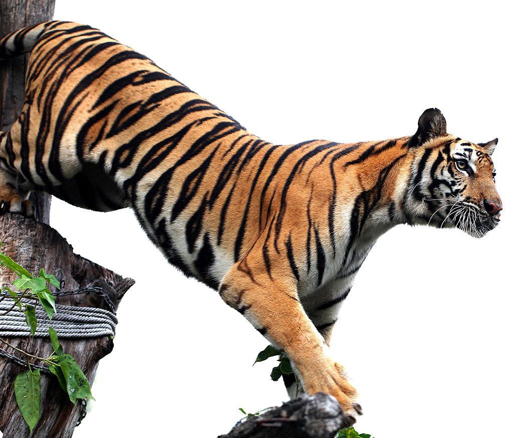 कहां से आए बाघ?