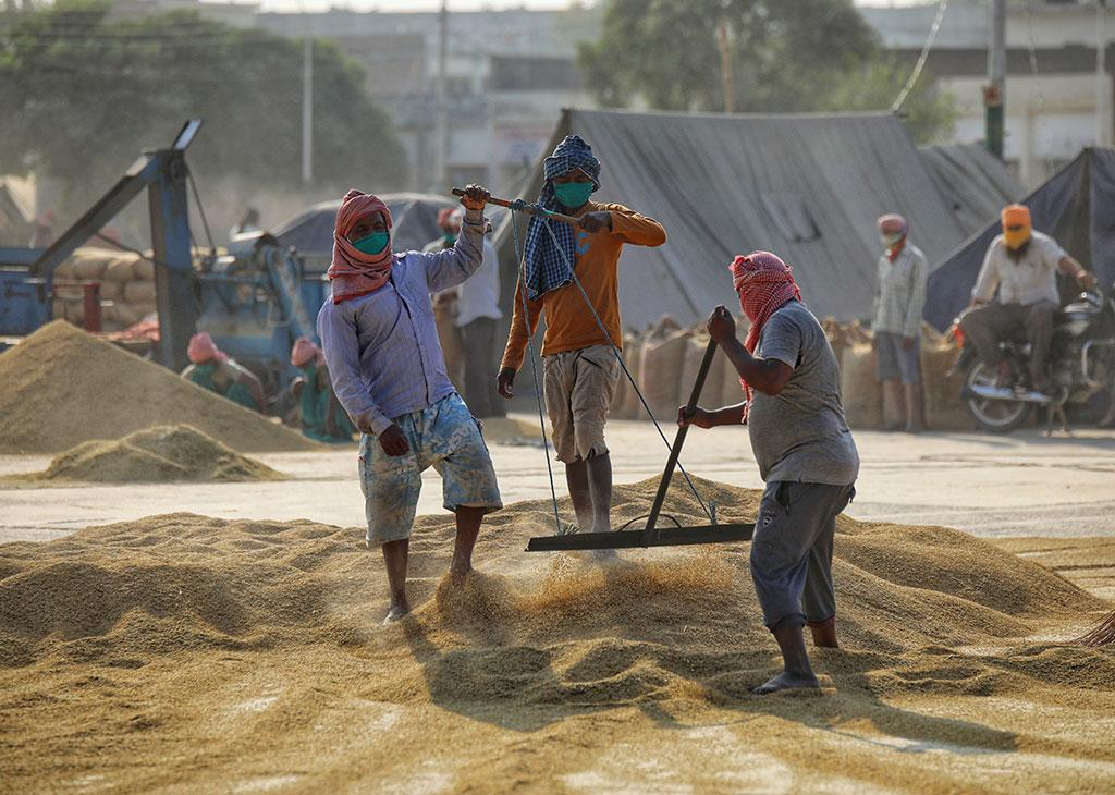 Labourers clearing and grading paddy brought at the Sirhind Mandi in Fatehgarh Sahib district, Punjab